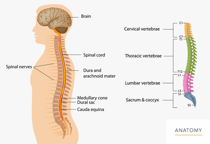 Back-and-Lumbar-Anatomy