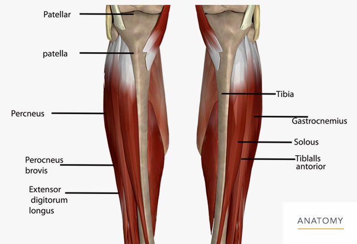 Calf-and-Lower-Leg-Anatomy