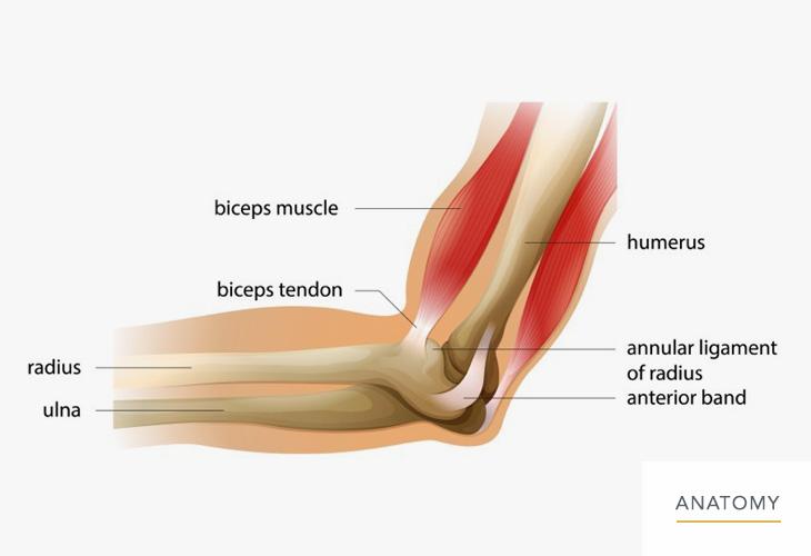 Elbow-Anatomy