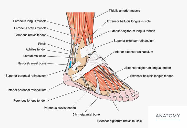 Foot-and-Ankle-Anatomy