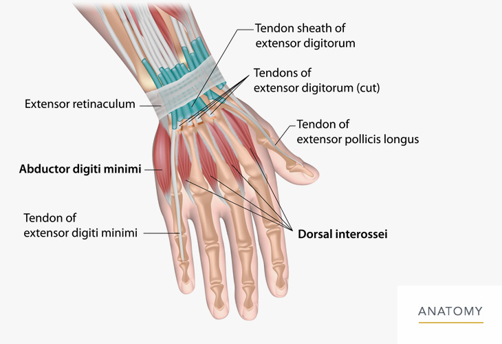 Hand-Wrist-Anatomy