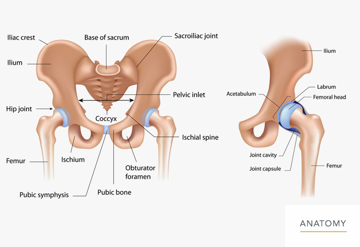 Hip-Anatomy