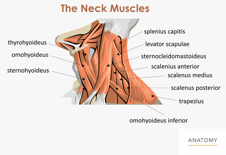 Neck-Anatomy